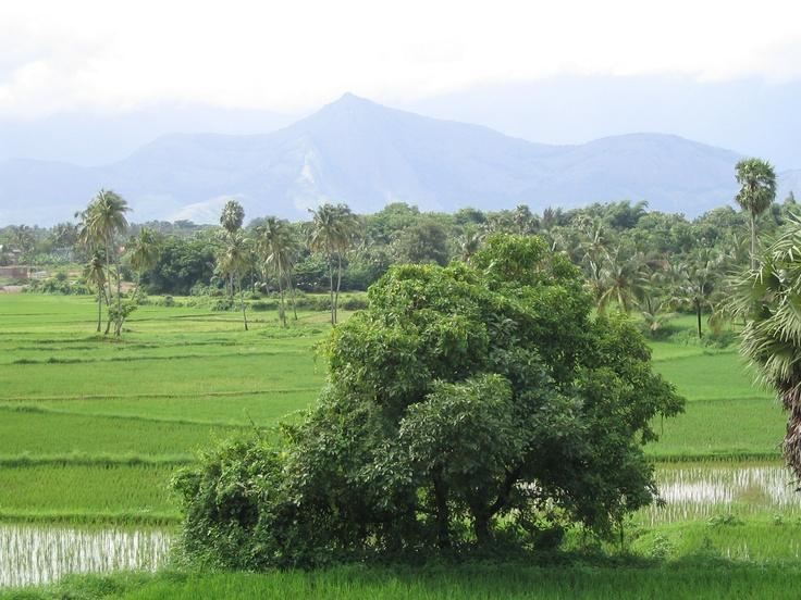 Rice fields of Palakkad, India