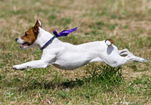 parson russell terrier info | Parson Russell Terrier dog breed information