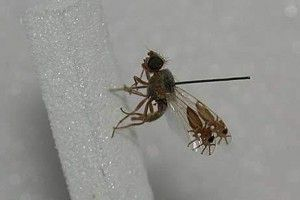 Fruitfly evolved pictures of ants on itswings. A recently discovered G tridens fruitfly that has evolved a to have images of detailed, ant-like insects on each wing, complete with six legs, a thorax, antennae and a tapered abdomen. The fly uses the images defensively, waving them back and forth when threatened to create the illusion of massing ants.