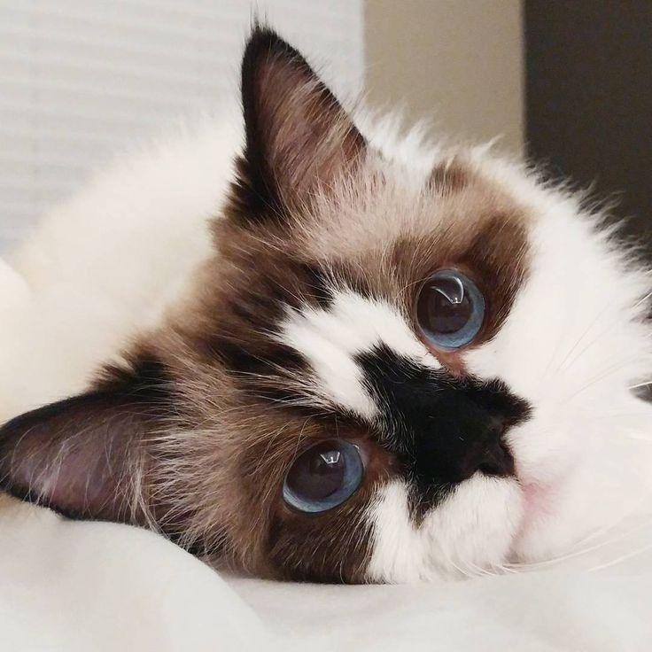 29.8 тыс. отметок «Нравится», 312 комментариев — Munchkin cat (@albertbabycat) в Instagram: «😘 Hello.»