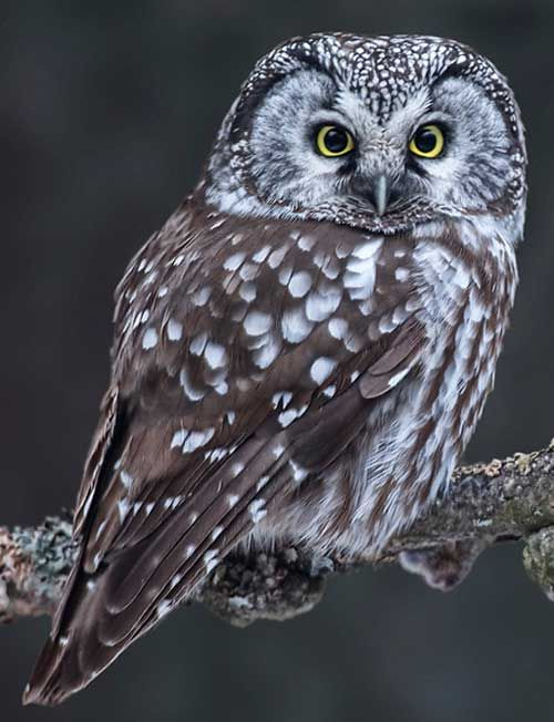 105 best Boreal Owl images on Pinterest | Owls, Barn owls and Great Boreal Owl Design House on saw-whet owl house, great horned owl house, barred owl house, eastern screech owl house, western screech owl house,