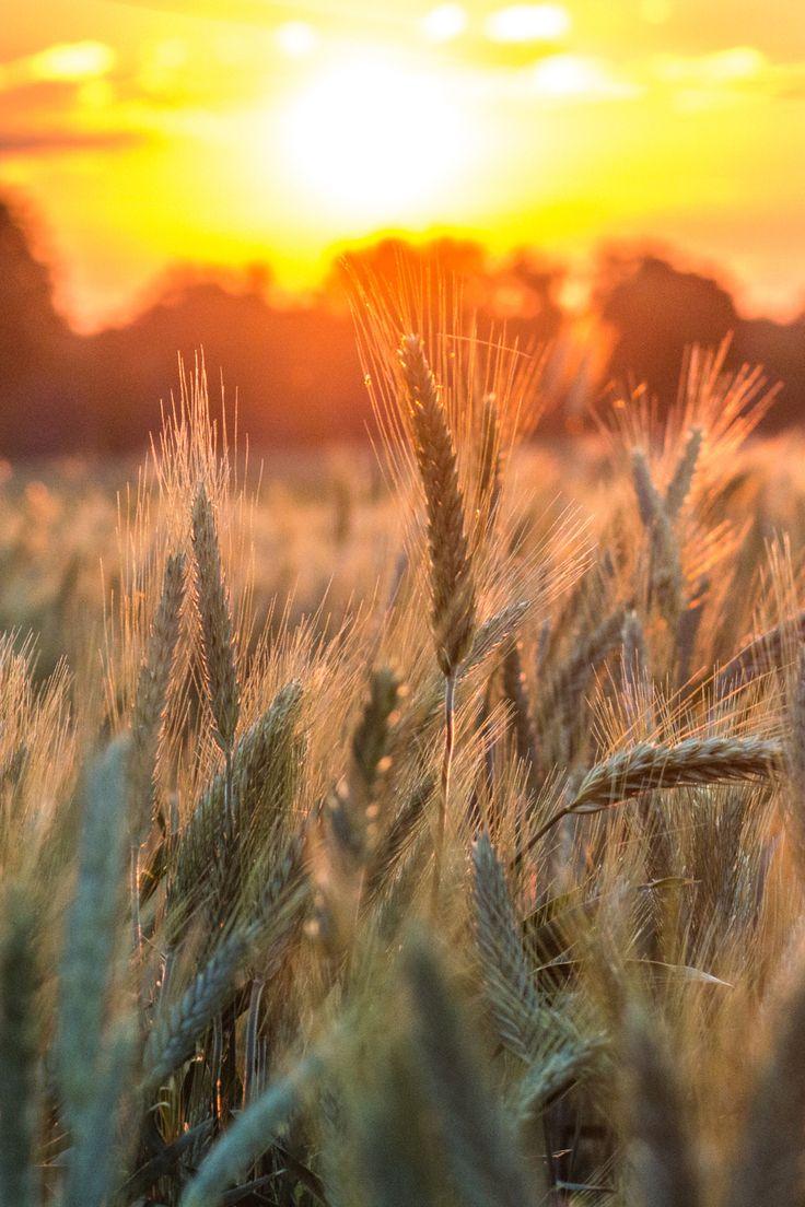 Kornfeld - Weizenfeld / Cornfield - Wheatfield + Sonnenaufgang - Sonnenuntergang / Sunrise - Sunset