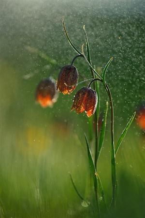 Fritillaria tenella © Sandra Bartocha  www.bartocha-photography.com: Colors Combos, Floral Photography, Sandra Bartocha, Cool Pictures, Orange Flowers, Raindrop, Flowers Bows, Flowers Photo, Rain Drop