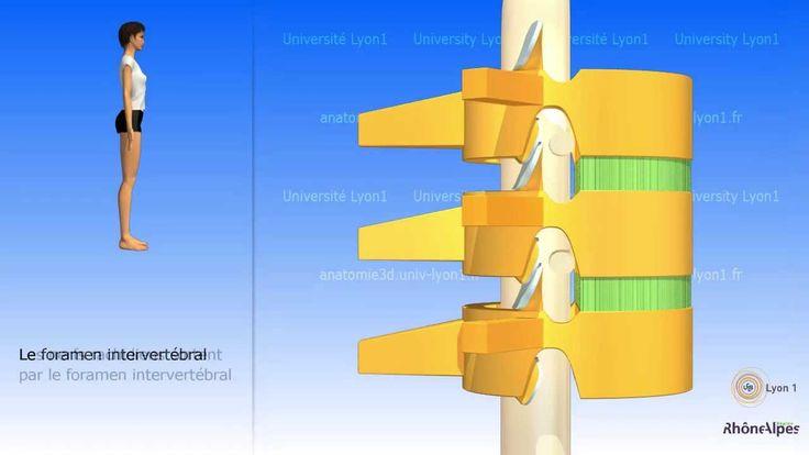 la colonne vertébrale simplifiée Anatomie 3D Lyon