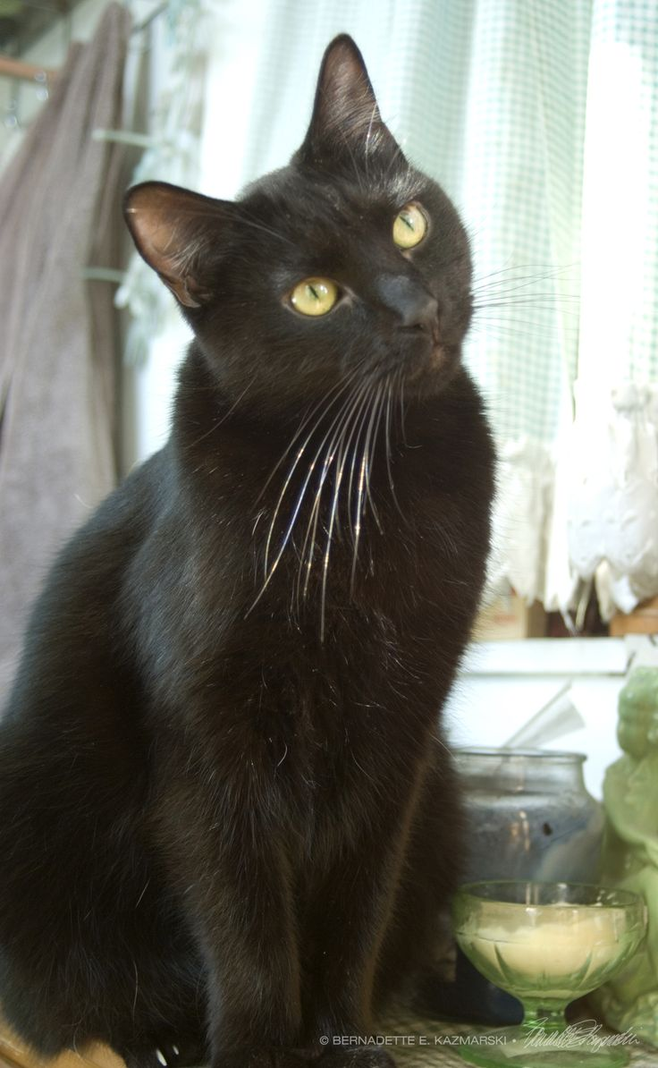 Adopt a Black Cat! Especially with such gorgeous whiskers like this handsome kitty!!
