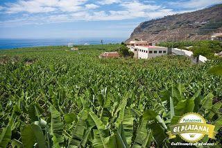 PATACONES EL PLATANAL Cultivamos el plátano en Alejandria y San Rafael Ant: AHORA NUEVO TENEMOS LOGOTIPO  Y IMAGEN DE LOS  PAT...