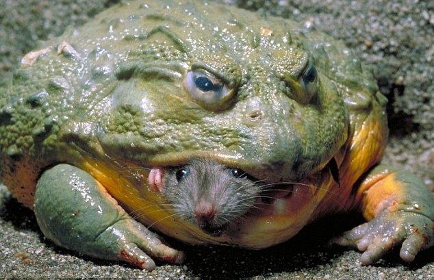 Curiosidades del reino animal: La rana toro es capaz de devorar ratones, pájaros y serpientes