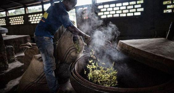 Destilación de AE de YLANG YLANG (Madagascar)