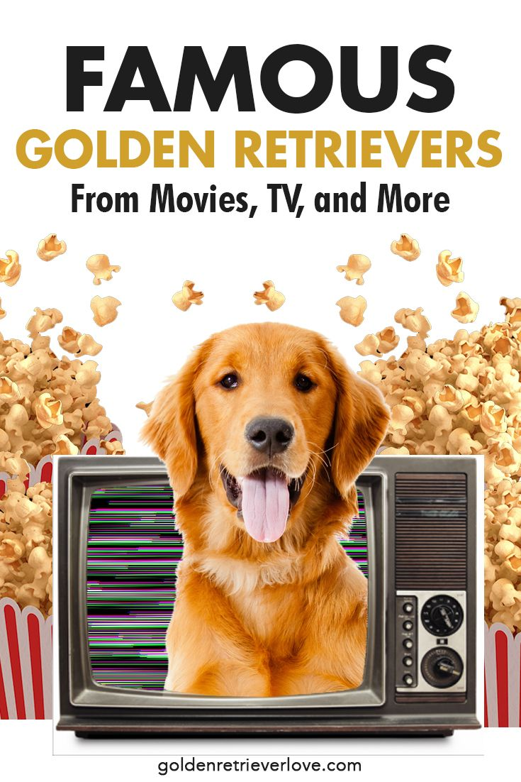 Famous Golden Retrievers From Movies Tv And More With Images