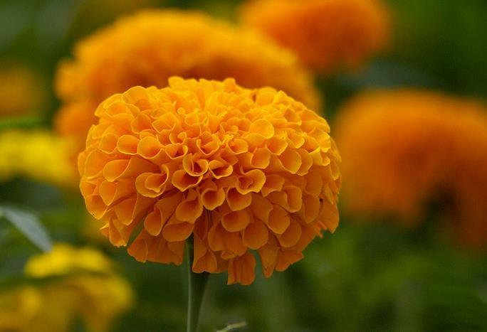 Cempasúchil, flor representativa mexicana.
