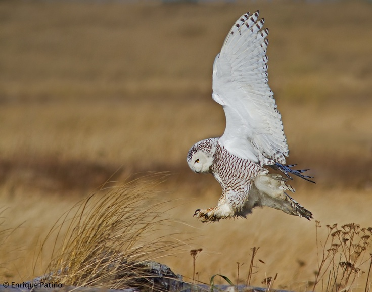 "Snowy Owl Landing | ""For sounds in winter nights, and ..."