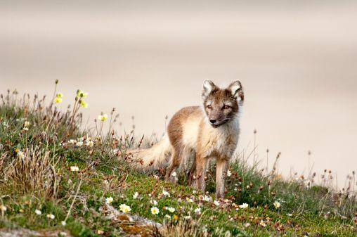 nunavut arctic fox