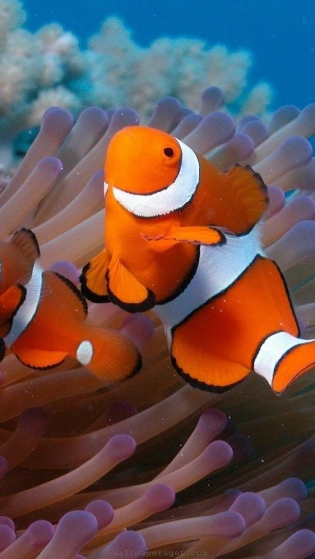 117 best images about under the sea on pinterest for Clown fish nemo