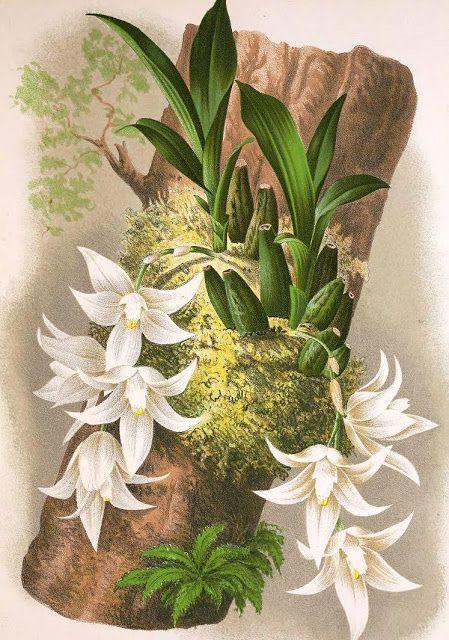 """Olímpia Reis Resque: Um ambiente animado e pitoresco um pequeno paraíso de uma das mais belas vegetações dos trópicos..."""". Texto de James W Wells (1841-?) com ilustração em: Lindenia iconographie des Orchidées. v. 3, 1887. No Blog!"""