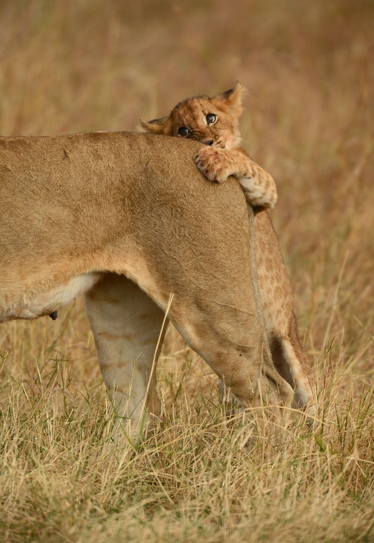 """After getting tired of playing with his siblings this lion cub decided he would """"hunt"""" his mother who had been watching over them at Klein's..."""
