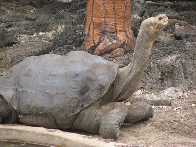Pinta Island Tortoise. I didn't know George died.. The last of his kind. Extinct