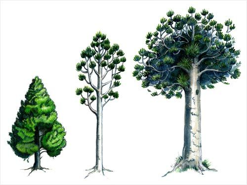 This is the three stages of a Kauri Trees growth