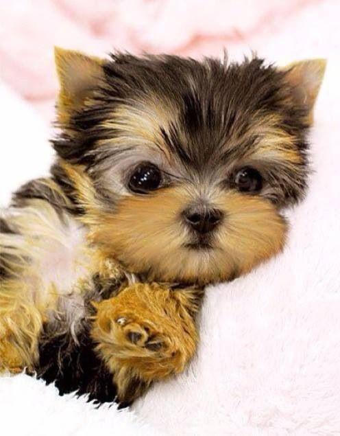 Yorkshire Terrier (Yorkie) Puppy #yorkshireterrier