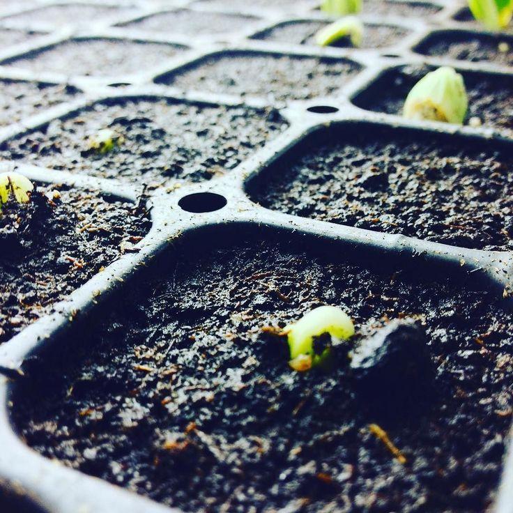 """""""Binnen een week planten we onze courgettes uit in een onverwarmde tunnel in een lekkere warme bed dat we nu met compost aan't bereiden zijn... #biologisch #biointensive #courgette #babycourgette #fromthefarmacy #localfood #farmtofork Meer info http://bit.ly/1RROZgs"""" via @fromthefarmacy"""