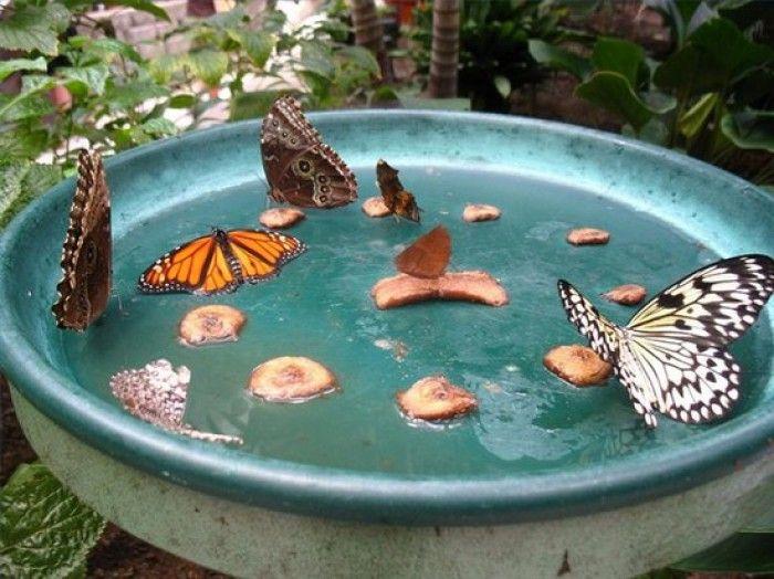 Vlinder lokken door water, suiker en over rijp fruit te gebruiken. Helder kleuren lokt vlinders.