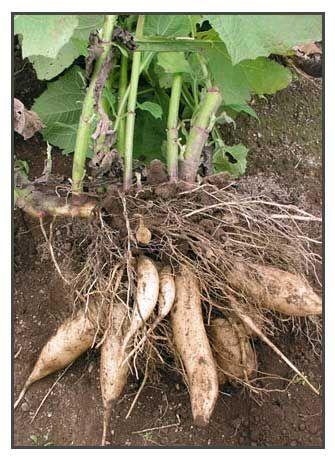Yacon / Smallanthus sonchifolius / Chicama / ziemniaczaną fasoli :: Philippine ziół leczniczych / Philippine Medycyna alternatywna