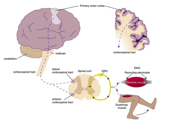 The primary motor cortex of the brain is responsible for executing the relay of neural information from pre-motor areas of the brain (involved in planning movements) to descending tracts in the spinal cord, which terminate on alpha motor neurons that direct excite the muscle. The excitability of the primary motor cortex is decreased in patients with certain knee injuries. Individuals with diminished excitability of the primary motor cortex may be able to plan voluntary movements, yet lack…