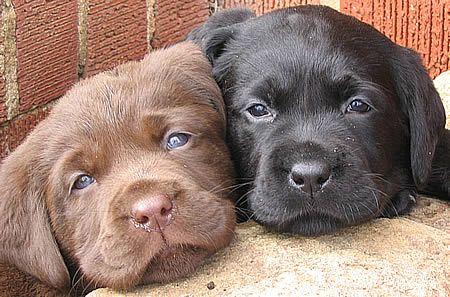 Lab puppies.