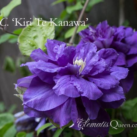 Clematis Kiri te kanawa.  Flower Size: 6-8in-15-20cm  Flowering Period: june-september  Mature Height: 6-9ft-2-3m  Pruning Requirements: groupb2-pruning-optional-light-or-hard  Planting Aspect: sun-partial-shade  Suitable for Container: container  Foliage Type: deciduous  Raised by the well known English breeder Barry Fretwell.