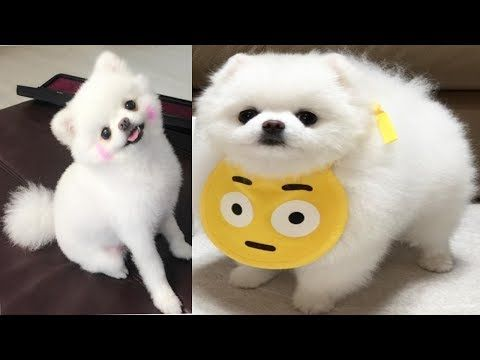 Pomeranian Puppies videos compilation | cute breeds dogs barking | Adorable Puppy playing - YouTube
