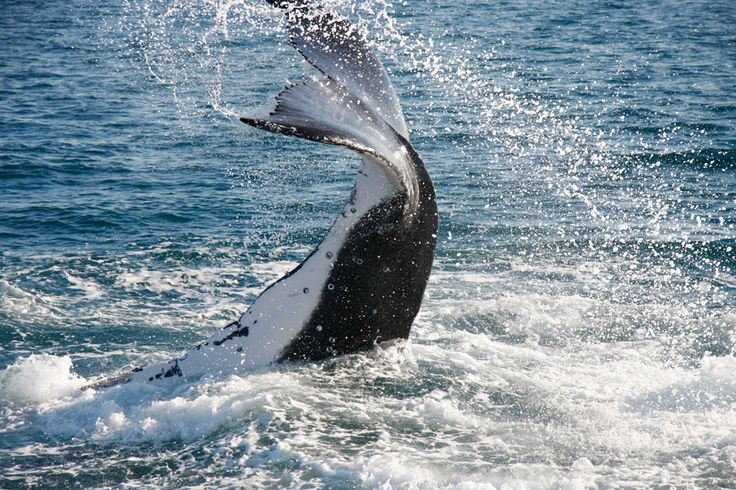 SLAP! A humpback whale communicates with its fellow creatures.