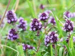 Timo: pianta aromatica dalle molteplici proprietà In questo articolo vi parlerò delle proprietà e dei benefici del timo. La parte della pianta da cui timo proprietà infezioni infiammazioni