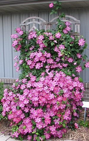 Care and Pruning of Clematis- good info and instructions by maria.t.rogers