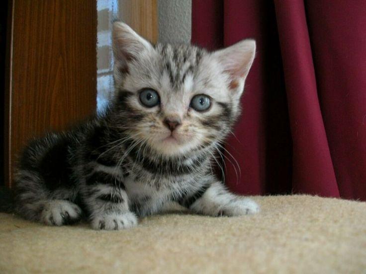 BKH Kitten, zwei Mädchen, echte Whiskas-Kitten, geboren 13