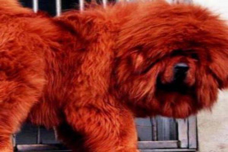 #INFO Calmado, suave, majestuoso y digno EL MASTIN TIBETANO una raza de #perro increíble ! http://www.petdarling.com/articulos/mastin-tibetano-la-raza/… pic.twitter.com/Sh6QpaUDPu