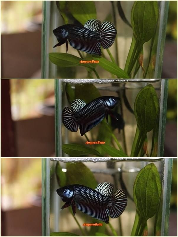 Wild Betta Mahachai Black  Male