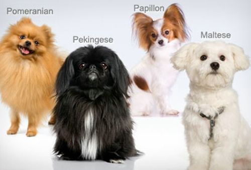 Toy Dog Breeds Pictures