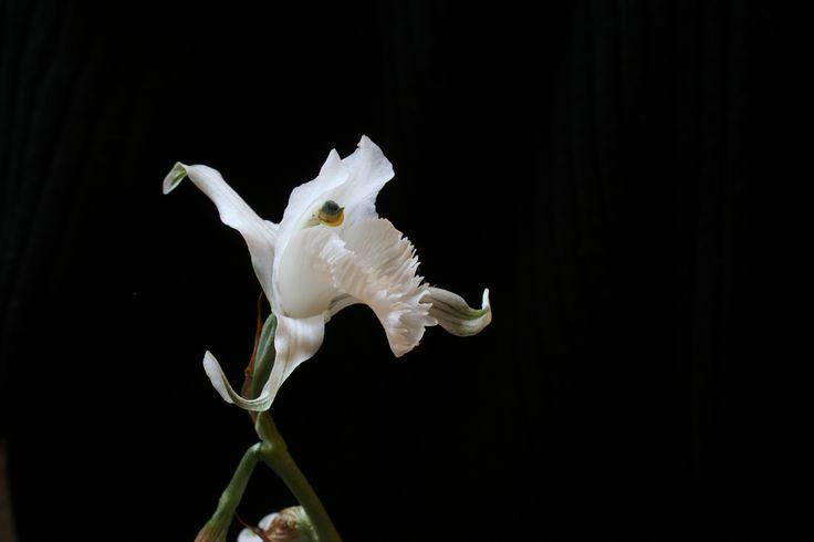 Orquídea (Chloraea crispa): Fotografía: Daniel Gomez-Lobo Fehling