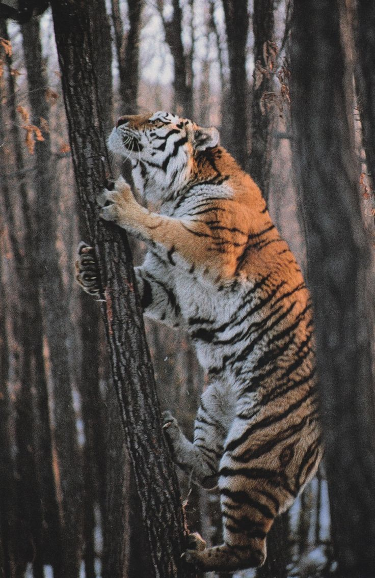 didn't know tigers did this. original caption: National Geographic February 1997  Siberian Tiger