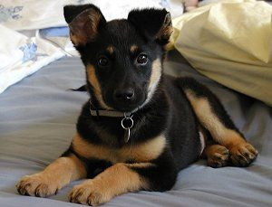 Baby Max. Doberman german shepherd mix