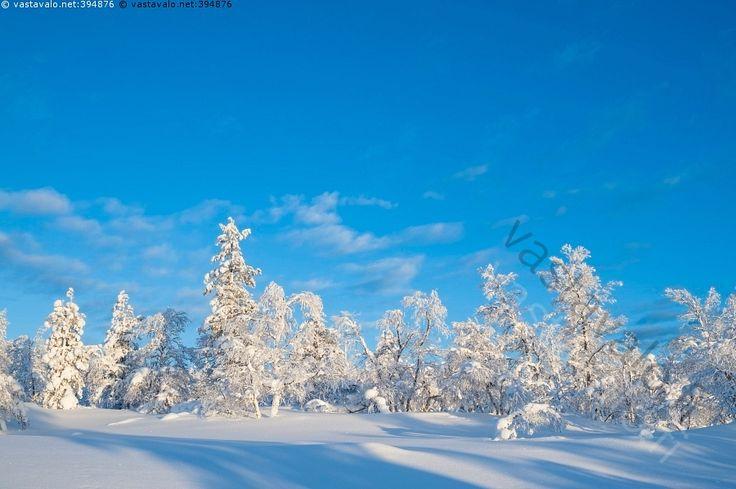 Tunturikoivikko - talvimaisema lumi tunturi tunturikoivu auringonpaiste aurinkoinen tykkylumi huurre valonsäteet varjot lumihanki