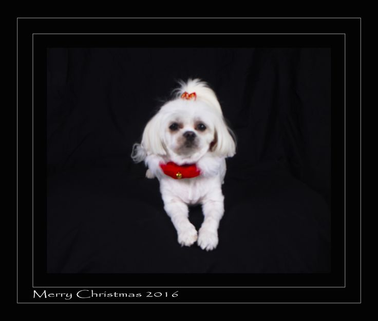 "Book Now for a Christmas Pet Studio Session 🎅🐶 1 Pet 🐶🐱 Studio Session 1 Ready to frame print 8 x 10 "" 1 USB or 1 Private Online Gallery and Images can be downloaded. Christmas Special 🎅🎄 Coupon Code XMAS10OFF $10.00 Off all Gift Vouchers🎅🎁 Pricing Available Online www.jjfphotography.com.au 📞 Jimmy 02 6584 0332 or 0488 258 881"