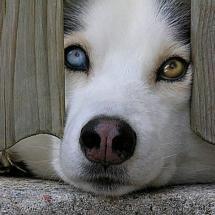 me n my hubby want a husky like this