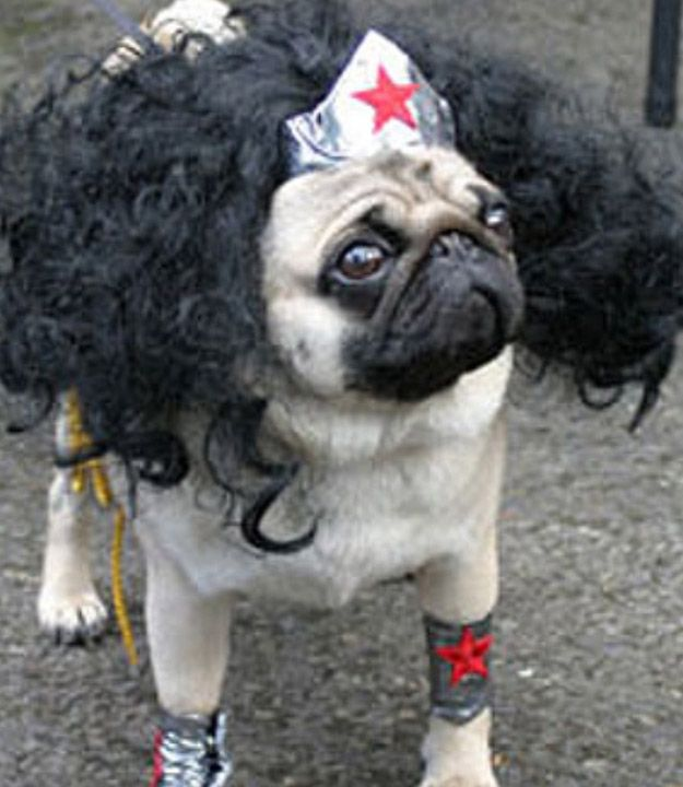 Um... I can't! This is the most precious and FABULOUS pug Halloween costume I've ever seen. Someone try and up this, please!!!