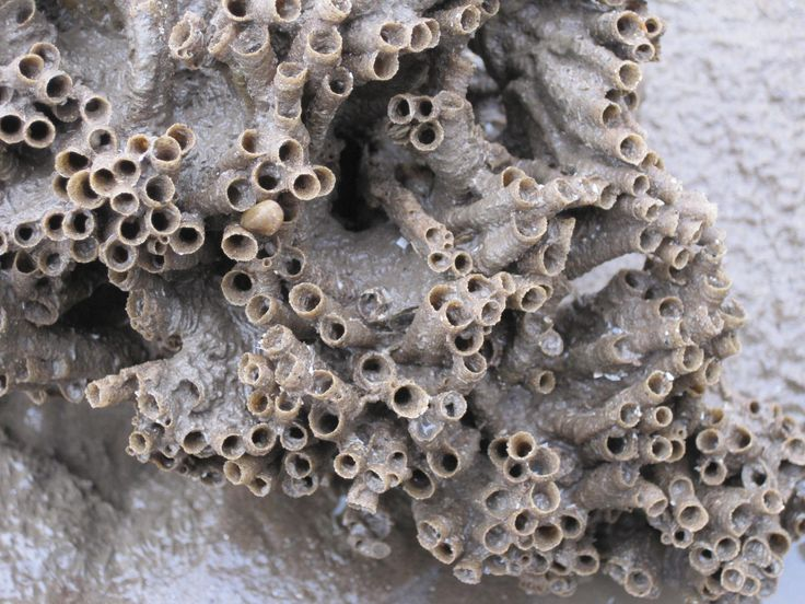Reef constructed from sand grains by the honeycomb worm, Sabellaria. (Photo by Ann Lingard; www.solwayshorestories.co.uk)