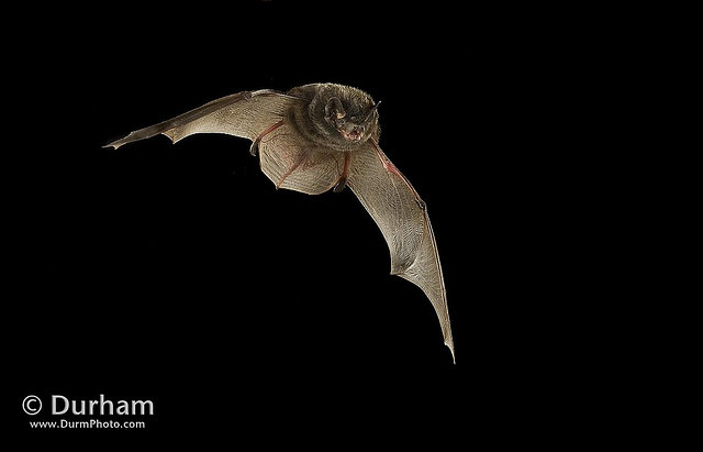 Silver-haired bat (Lasionycteris noctivagans)