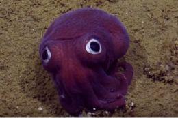 Investigadores encuentran tierno calamar con ojos saltones en las costas de…