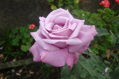 Rosas inglesas, una combinación perfecta