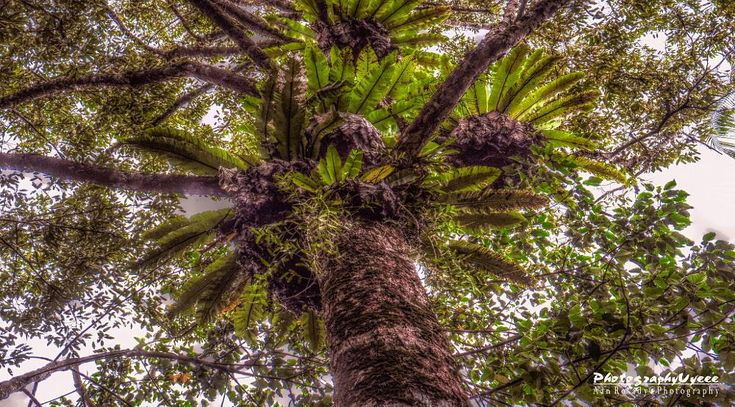 Durian Tree and Asplenium Nidus | Hang Mui Forest, Singkawang - West Borneo, Indonesia by Aan Rosady