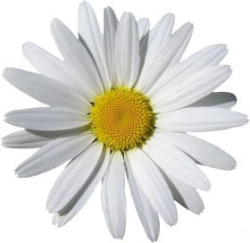 Camomile Png Image Free Flower Picture Bunga Png
