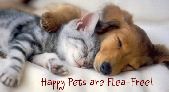 Looking for homemade flea killer? Here are some methods that are known to kill fleas naturally. If you are wary of chemicals and popular store-bought products, homemade flea killer is a great choice. Homemade Flea Spray  Save Print Ingredients Homemade Flea Spray With Vinegar Have you ever been told that vinegar kills fleas? Well, …